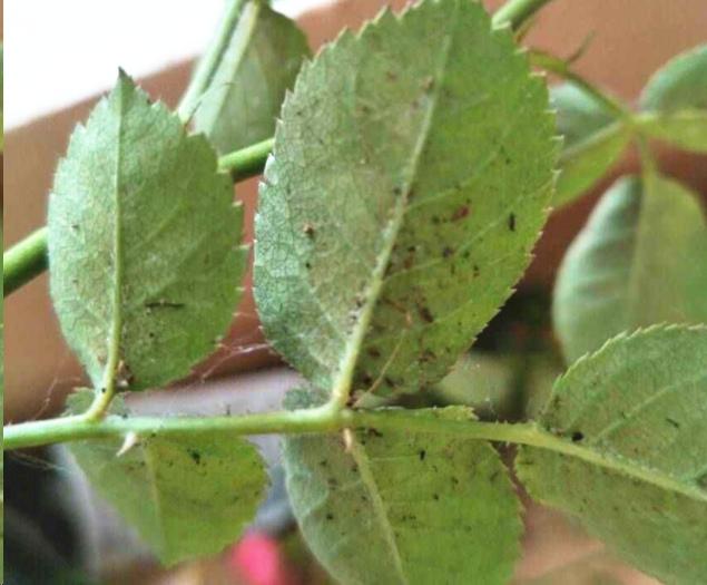 室内阳台养的月季如何防治红蜘蛛?