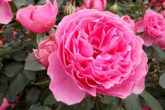粉色达芬奇月季花图片