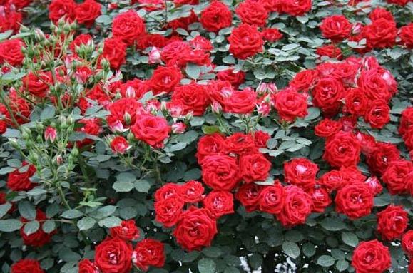 红色蕾丝Red Lace月季花品种介绍及图片