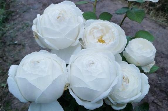 伊芙.婚礼之路月季花图片
