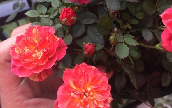 躲躲藏藏月季花图片