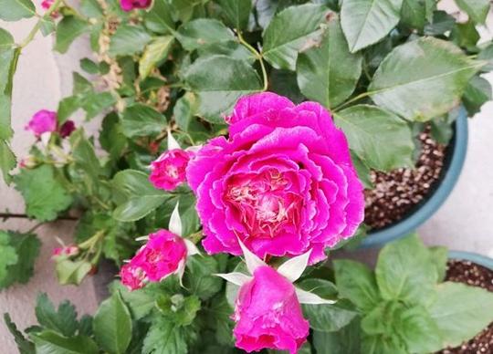 草药月季花