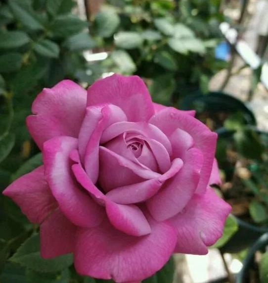 紫魂香水月季花