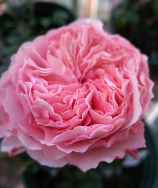 香织装饰月季花