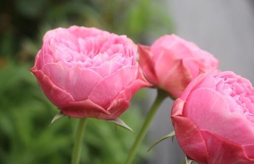 小春月季花