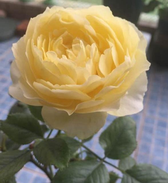小黄鸡月季花