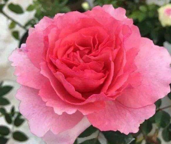花香蜜语月季花