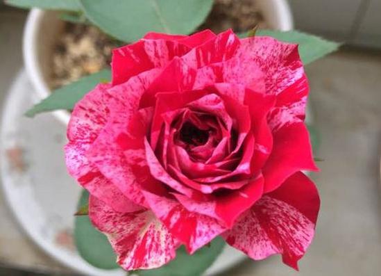 红白毛茛/Ranuncula月季花品种介绍及图片