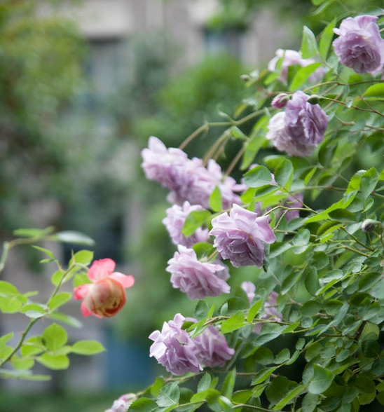 蓝色阴雨/Rainy Blue月季花品种介绍及图片