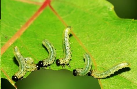 月季叶蜂虫防治方法,绝对好使