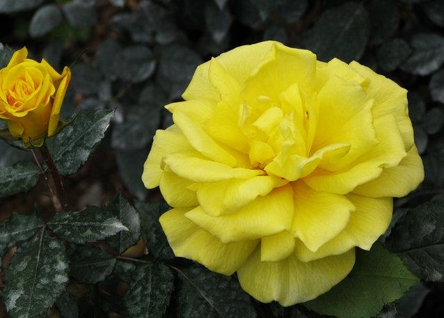 太阳仙子/Sunsprite月季花品种介绍及图片