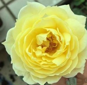 塔沃莱姆/Towaremon月季花品种介绍及图片