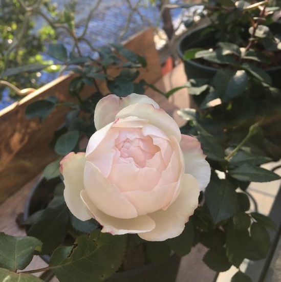 波莱罗/Bolero月季花品种介绍及图片