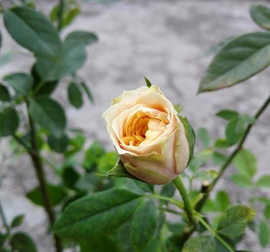 永远的那不勒斯/Napoli月季花品种介绍及图片