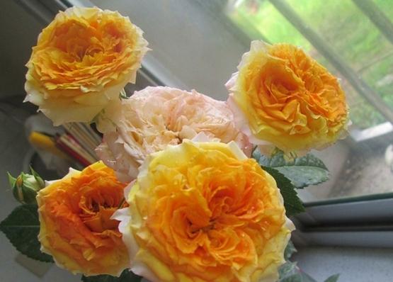 浪漫玫瑰面纱/Romantic Rose veil月季花品种介绍及图片