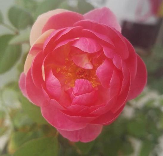 桃香/ももか月季花品种介绍及图片