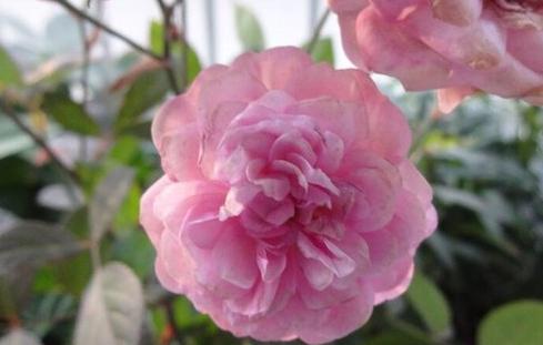 冬梅月季花品种介绍及图片
