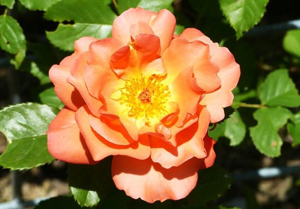 西方大地/Westerland月季花品种介绍及图片