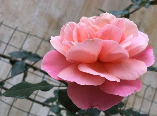 波提雪莉/Botticelli月季花品种介绍及图片