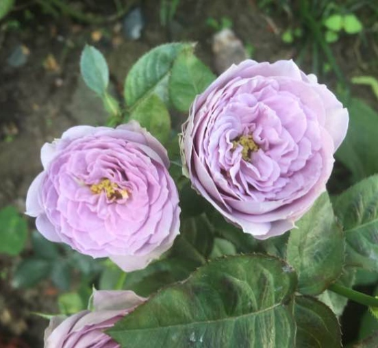 蓝色绒球/Blue Pompon月季花品种介绍及图片