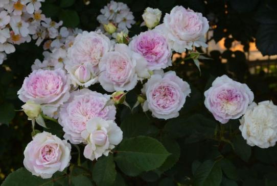 木村卓功月季月季花品种介绍及图片