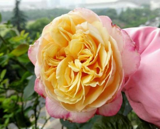 科德斯庆典/Kordes'Jubilee月季花品种介绍及图片