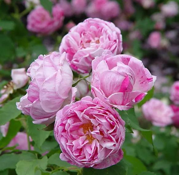 奥诺琳布拉邦/Honorine de Brabant月季花品种介绍及图片