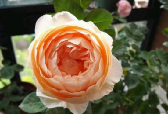 安布里奇/Ambridge Rose月季花品种介绍及图片