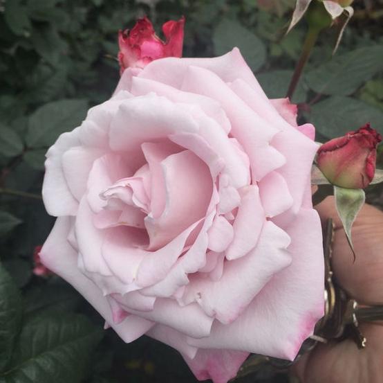 沉默的爱/サイレントラブ月季花品种介绍及图片