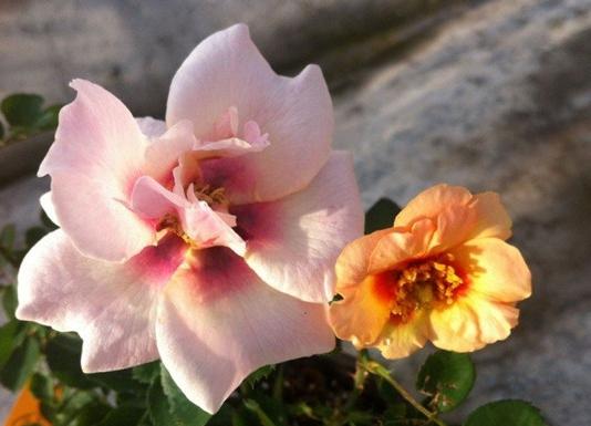 腓尼基公主月季花品种介绍及图片