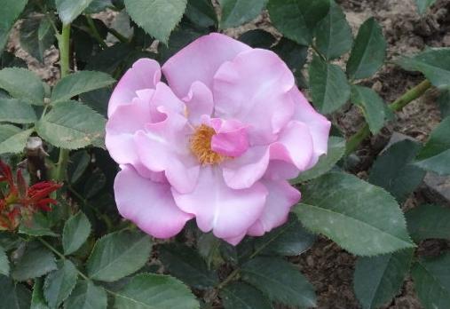 蓝莓山/Blueberry Hill Rose月季花品种介绍及图片