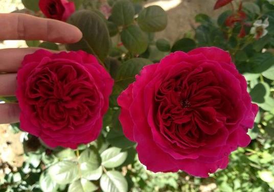 皇家胭脂/Alain Souchon/Rouge Royale月季花品种介绍及图片