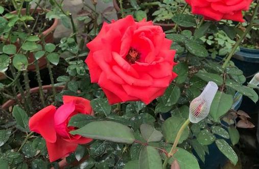 绯扇/Hiogi月季花品种介绍及图片