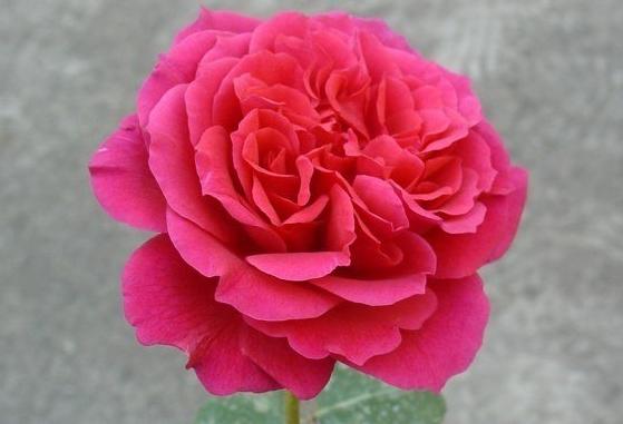 恩典女王/Grace Queen 月季花品种介绍及图片