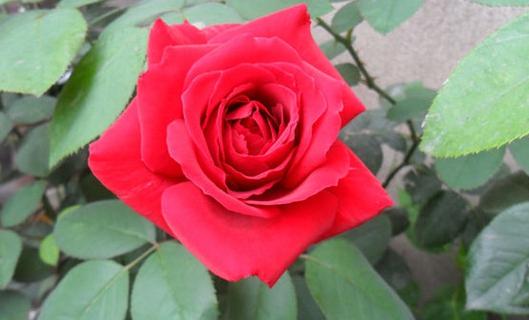梅朗口红/Rouge Meilland月季花品种介绍及图片