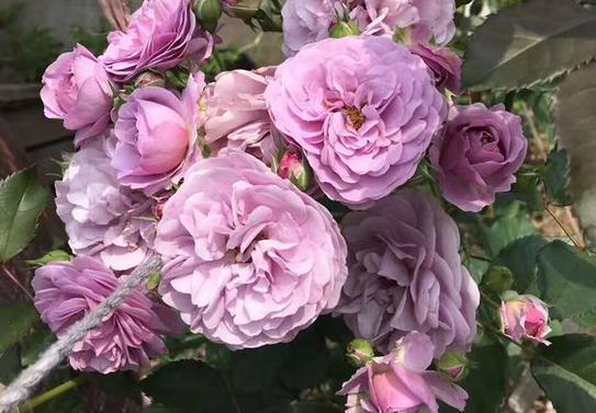 薰衣草花环/Lavender Bouquet月季花品种介绍及图片