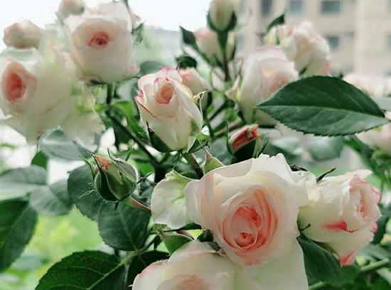 可爱多/Lovery More月季花品种介绍及图片