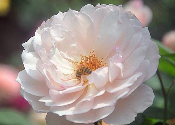 慷慨的园丁/The Generous Gardener月季花品种介绍及图片