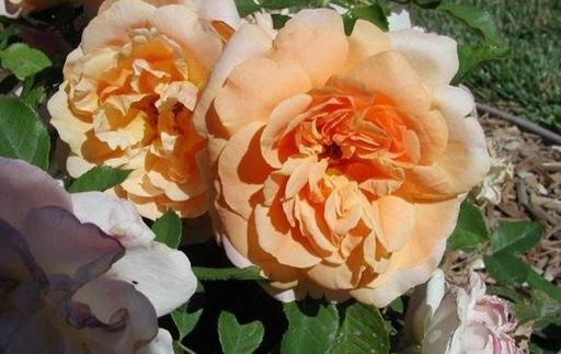 金佛/Golden Buddha月季花品种介绍及图片