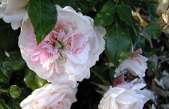梅兰迪娜夫人/Lady Meillandina月季花品种介绍及图片