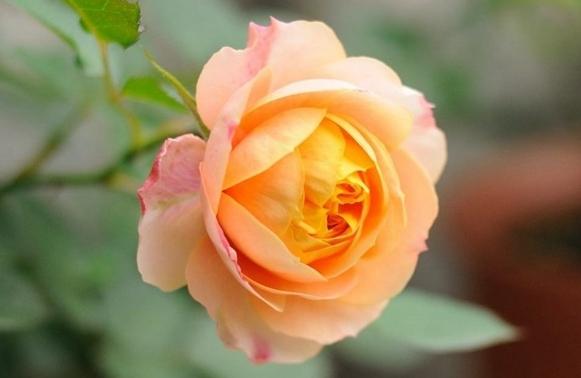 浪漫宝贝/Baby Romantica月季花品种介绍及图片