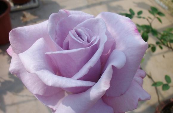 蓝丝带/Blue Ribbon月季花品种介绍及图片