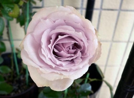 紫色水晶/Lavender Crystal月季花品种介绍及图片