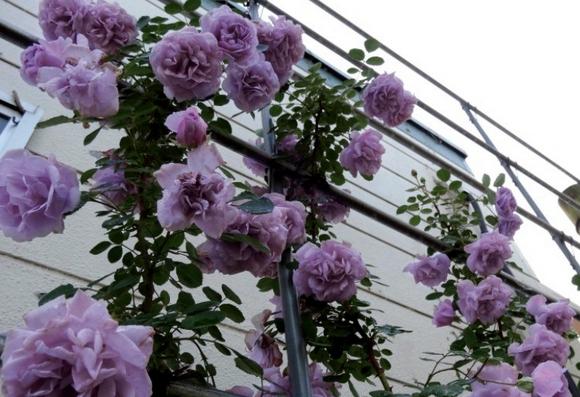 蓝雨/Rainy Blue月季花品种介绍及图片
