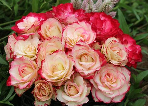 摩纳哥公爵/Cherry Parfait月季花品种介绍及图片