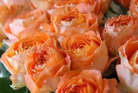 浪漫橙色/オレンジロマンティカ月季花品种介绍及图片