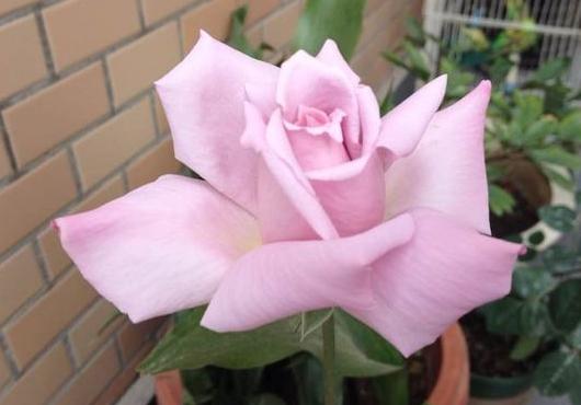 戴高乐/Charles de Gaulle月季花品种介绍及图片