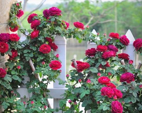 贾博士的纪念/Souvenir du Docteur Jamain月季花品种介绍及图片