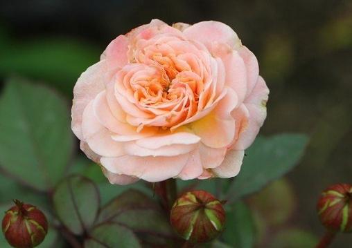 四个丘比特/プチフール月季花品种介绍及图片