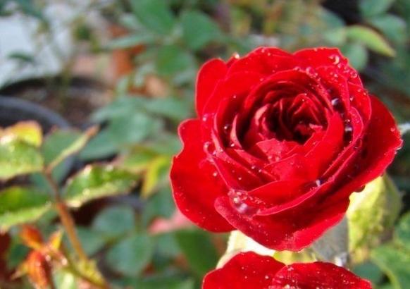 无条件的爱/Unconditional love月季花品种介绍及图片